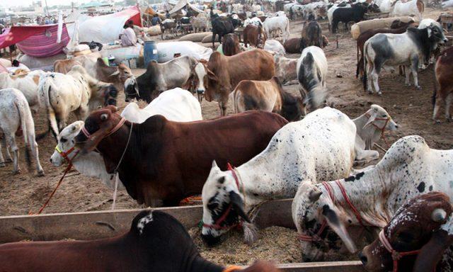 Cattle Mandi: Pakistan's famous attraction - Global Village Space