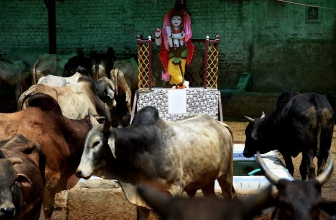 Indian criminals to undergo 'cow therapy' - Global Village Space